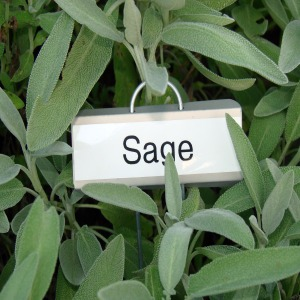 sage-plant